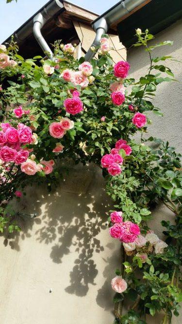 Ferienwohnung Badenheim Rosen